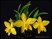 Sophronitis coccinea v. aurea. A species orchid ( color)