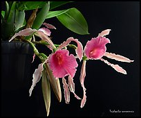 Trichopilia ramonensis. A species orchid ( color)