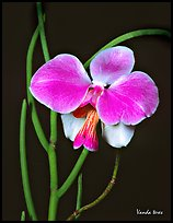 Vanda teres. A species orchid ( color)