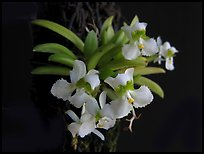 Zygostates alleniana. A species orchid ( color)
