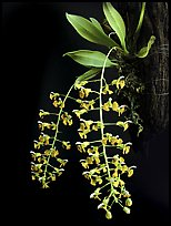 Zygostates lunata. A species orchid ( color)