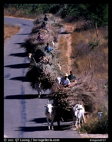 Cow wagons. Mount Popa, Myanmar (color)