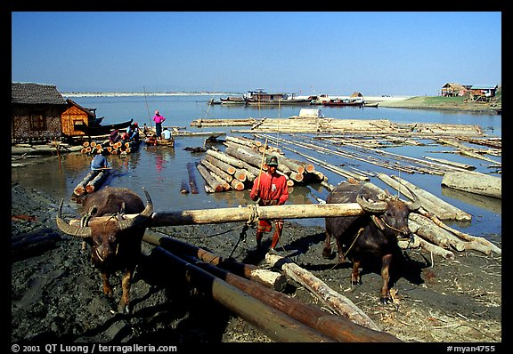 Water buffalo hauling trunks on the Ayeyarwadi river. Mandalay, Myanmar (color)