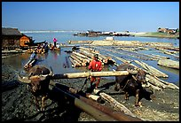 Water buffalo hauling trunks on the Ayeyarwadi river. Mandalay, Myanmar ( color)