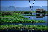 Floating gardens. Inle Lake, Myanmar (color)
