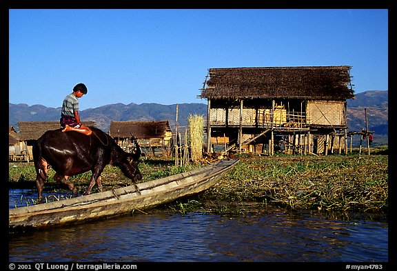 Boy on Water buffalo near the canal at Nyaungshwe. Inle Lake, Myanmar (color)