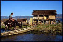 Boy on Water buffalo near the canal at Nyaungshwe. Inle Lake, Myanmar ( color)