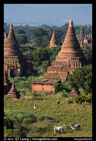 Peasant and ox in field below pagodas. Bagan, Myanmar (color)