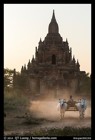 Ox cart riding in front of Tayok Pye temple. Bagan, Myanmar (color)