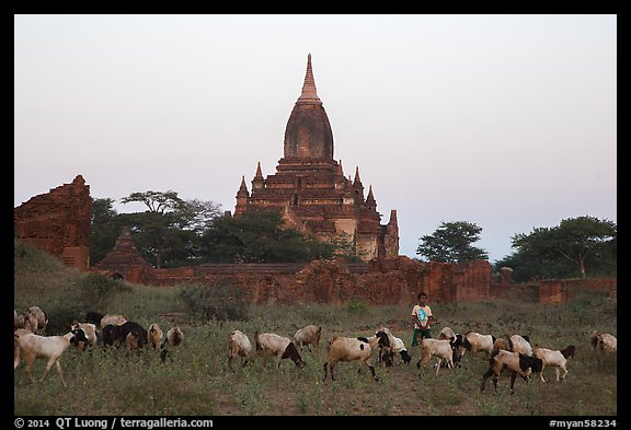 Sheep herding at sunset, Minnanthu village. Bagan, Myanmar (color)