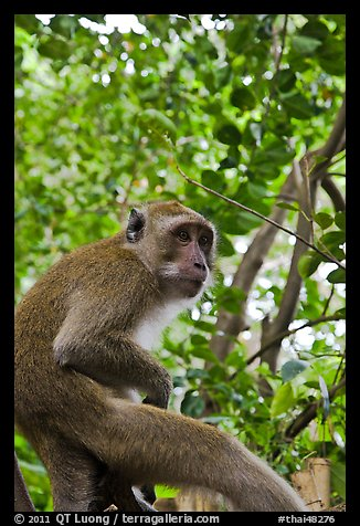 Monkey, Railay. Krabi Province, Thailand