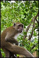 Monkey, Railay. Krabi Province, Thailand ( color)