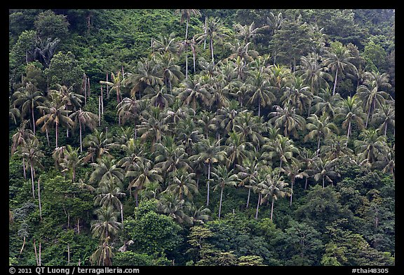 Hillside with tropical vegetation and palm trees, Phi-Phi island. Krabi Province, Thailand