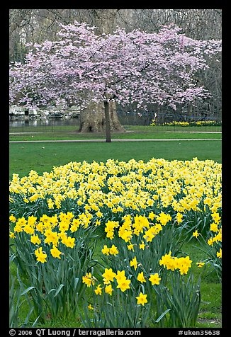 Daffodils and tree in bloom, Saint James Park. London, England, United Kingdom (color)