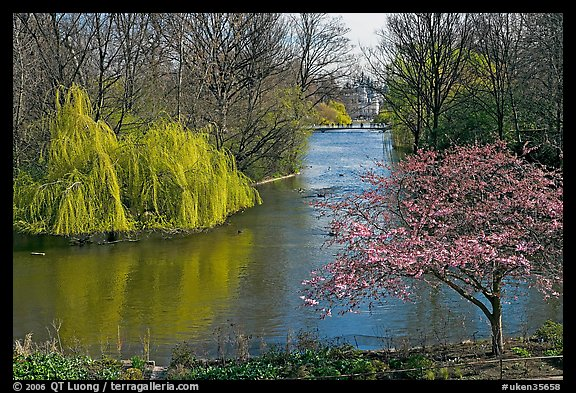 Weeping Willow and Plum blossom,  Saint James Park. London, England, United Kingdom