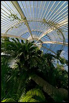 Palm trees and roof in the Palm House. Kew Royal Botanical Gardens,  London, England, United Kingdom ( color)