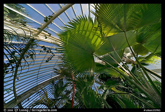 Palms and glass roof, the Palm House. Kew Royal Botanical Gardens,  London, England, United Kingdom