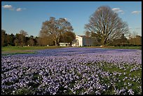 Glories of the Snow (Chionodoxa) and Orangerie. Kew Royal Botanical Gardens,  London, England, United Kingdom (color)