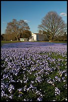 Carpet of glories of the Snow (Chionodoxa) and Orangerie. Kew Royal Botanical Gardens,  London, England, United Kingdom ( color)