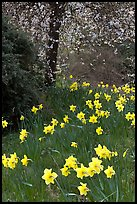 Daffodills and tree in bloom, Greenwich Park. Greenwich, London, England, United Kingdom