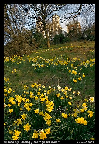 Daffodils on hillside,  Royal Observatory. Greenwich, London, England, United Kingdom (color)