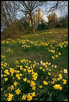 Daffodils on hillside,  Royal Observatory. Greenwich, London, England, United Kingdom ( color)