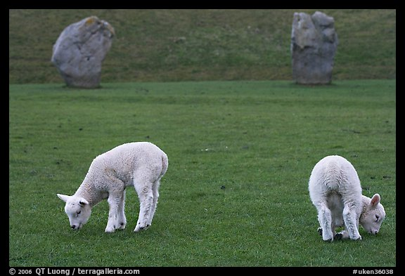 Two lambs and two standing stones, Avebury, Wiltshire. England, United Kingdom (color)
