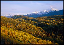 Aspens in fall colors and Chugach mountain, late afternoons. Alaska, USA