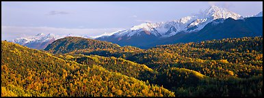 Fall mountain landscape with aspens and snowy peaks. Alaska, USA (Panoramic color)