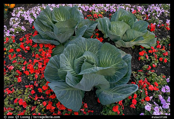 Giant cabbages on floral display. Anchorage, Alaska, USA (color)