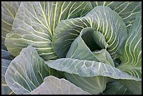 Close up of giant cabbage. Anchorage, Alaska, USA ( color)