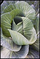 Giant cabbage detail. Anchorage, Alaska, USA (color)