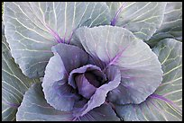 Cabbage close-up. Anchorage, Alaska, USA ( color)