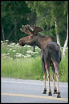 Bull moose on roadway, Earthquake Park. Anchorage, Alaska, USA (color)