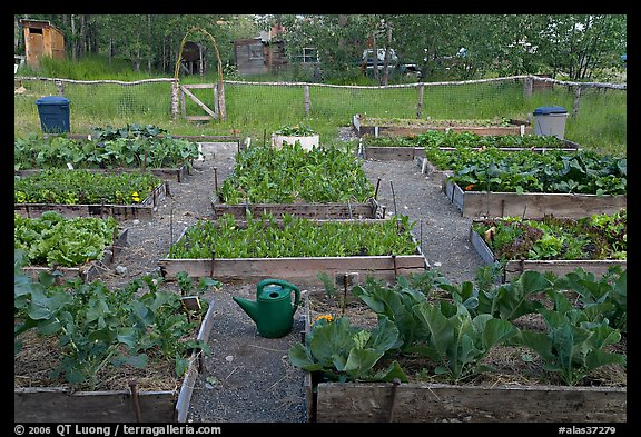 Vegetable garden. McCarthy, Alaska, USA (color)