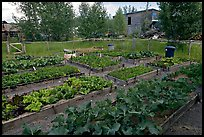 Vegetables grown in small enclosed garden. McCarthy, Alaska, USA ( color)