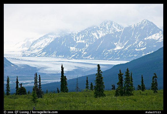 Spruce trees,  glacier and Chugatch mountains in background. Alaska, USA