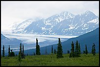 Spruce trees,  glacier and Chugatch mountains in background. Alaska, USA (color)