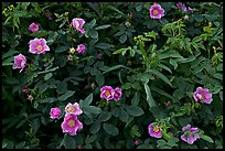 Wild Roses in bloom. Alaska, USA ( color)