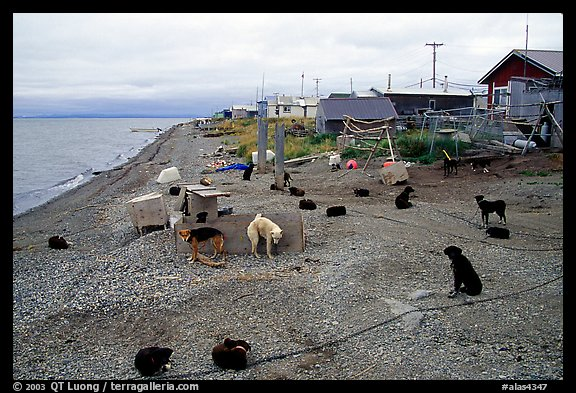 Mushing dogs. Kotzebue, North Western Alaska, USA