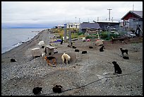 Mushing dogs. Kotzebue, North Western Alaska, USA (color)