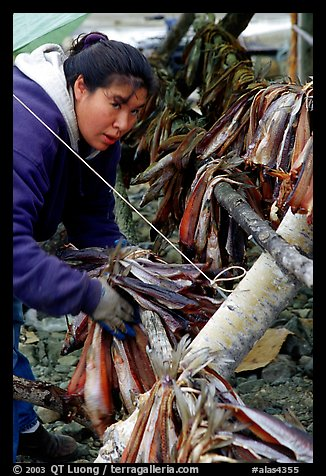 Inupiaq Eskimo woman hanging fish for drying, Ambler. North Western Alaska, USA