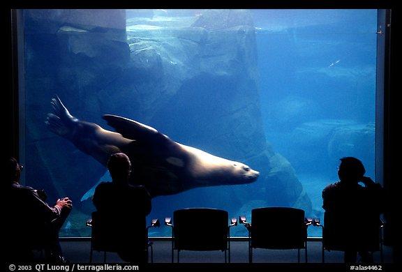 ... northern sea lion aquarium, Alaska Sealife center. Seward, Alaska, USA