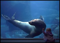 Northern Sea Lion interacting with baby, Alaska Sealife center. Seward, Alaska, USA (color)
