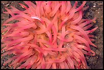 Pink  Sea Anemone, Alaska Sealife center. Seward, Alaska, USA ( color)