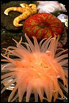 A variety of tide pool creatures, Alaska Sealife center. Seward, Alaska, USA ( color)