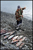 Fisherman laying out on shore salmon. Homer, Alaska, USA ( color)