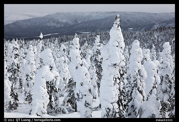 Trees plastered in snow. Alaska, USA (color)