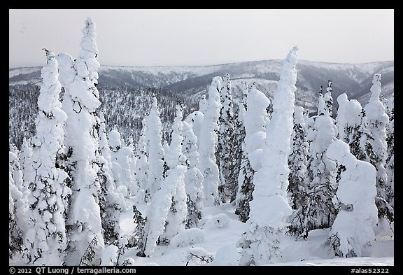 Forest plastered in snow. Alaska, USA