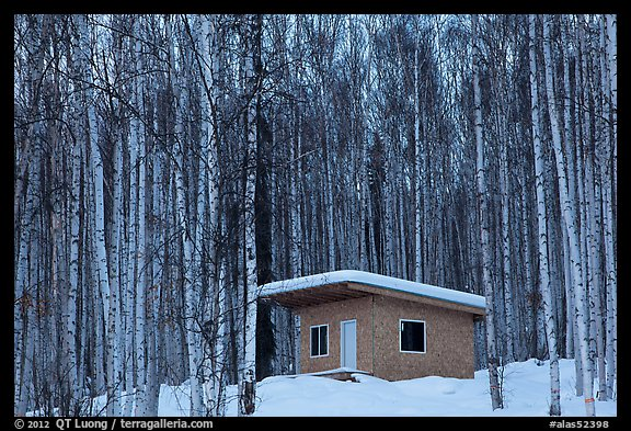 Cabin amongst bare aspen trees. Alaska, USA